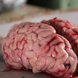 Móżdżek, mózg wieprzowy